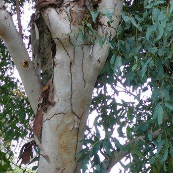 Eucalipto Natuur-dekbed